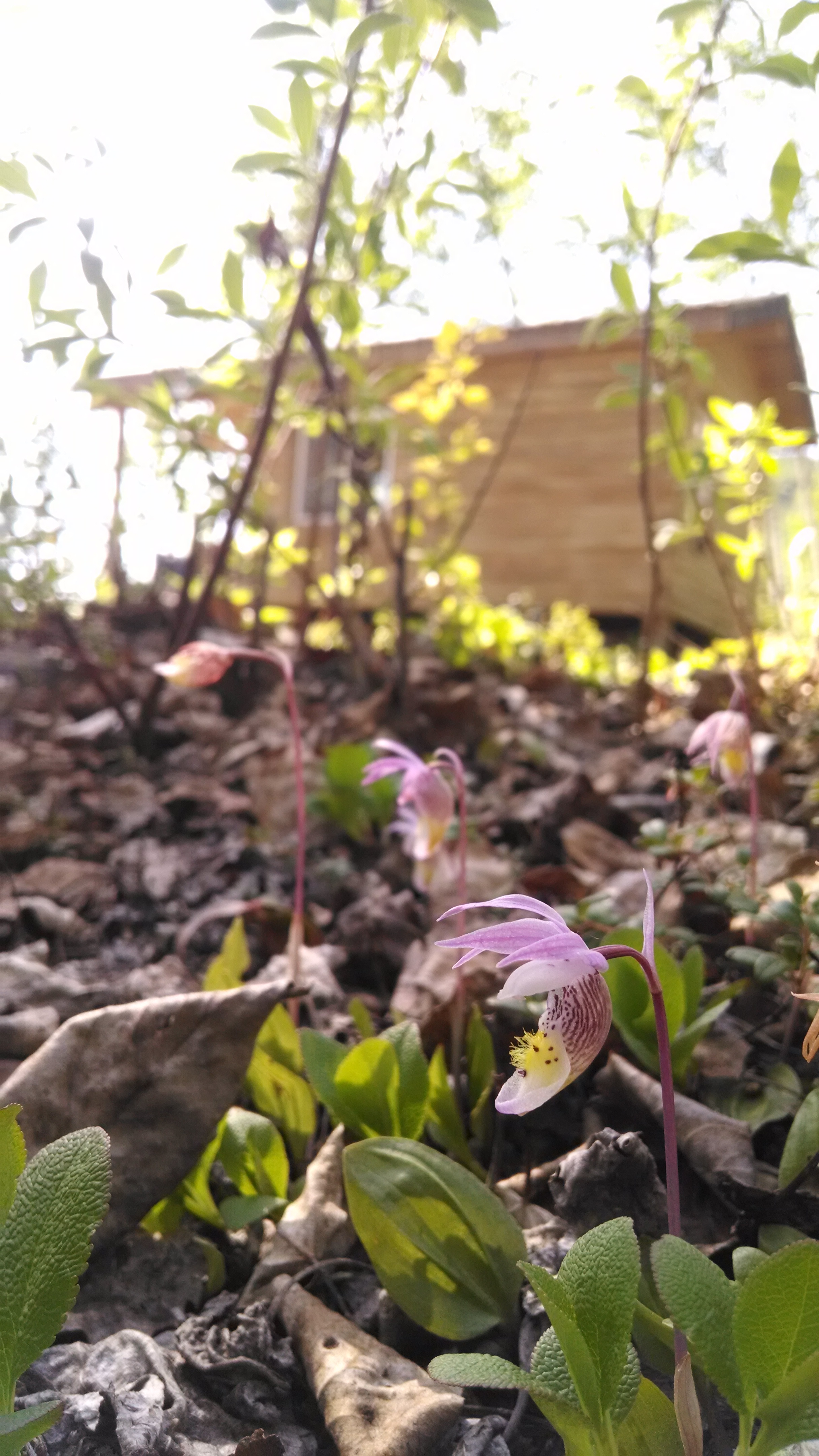 Calypso orchids at Swift Creek
