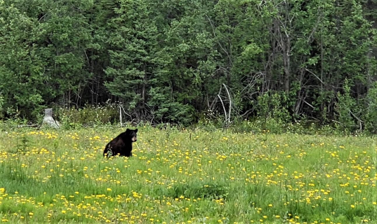 Black bear at Meadow Cabin