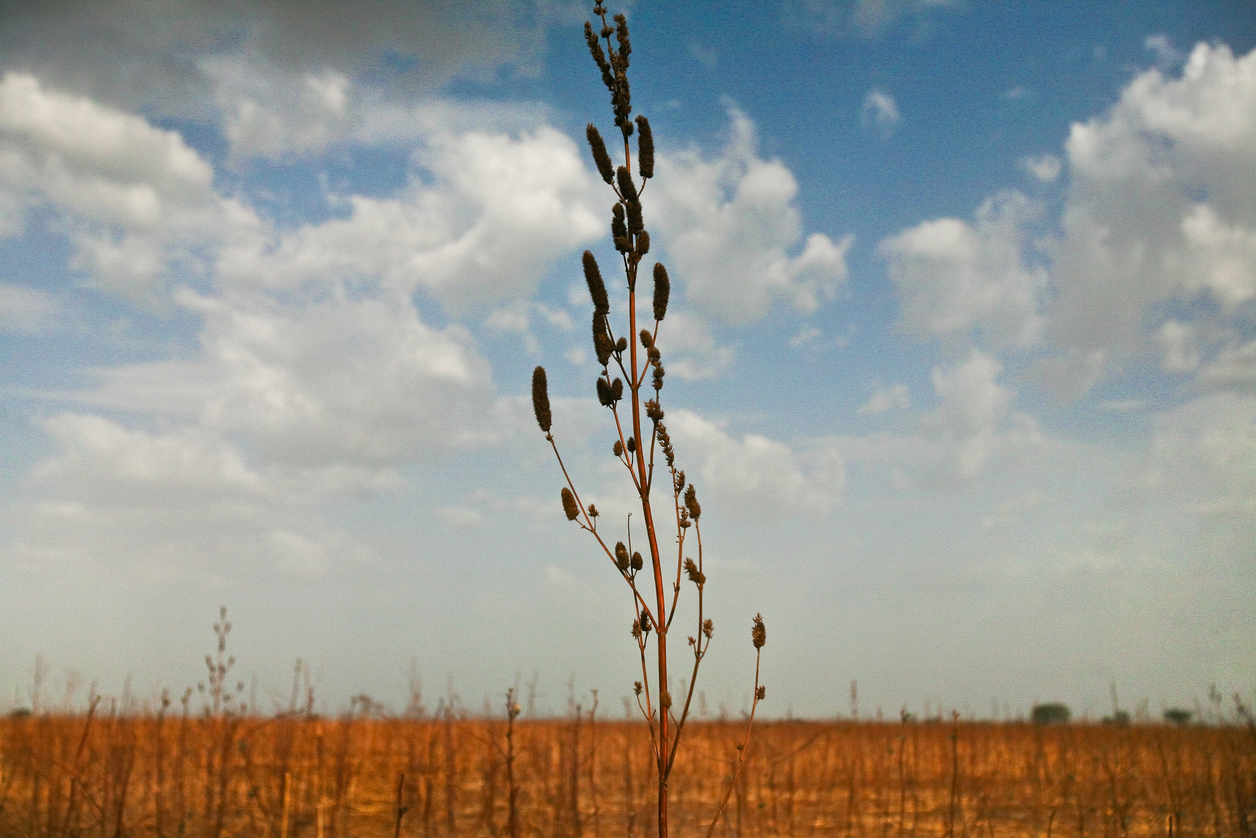 Weeds grow in the farmland outside of Tampion, Ghana, March 27, 2009. The north's long dry season keeps villagers from farming for much of the year, resulting in a shortage of employment and trade in the region.