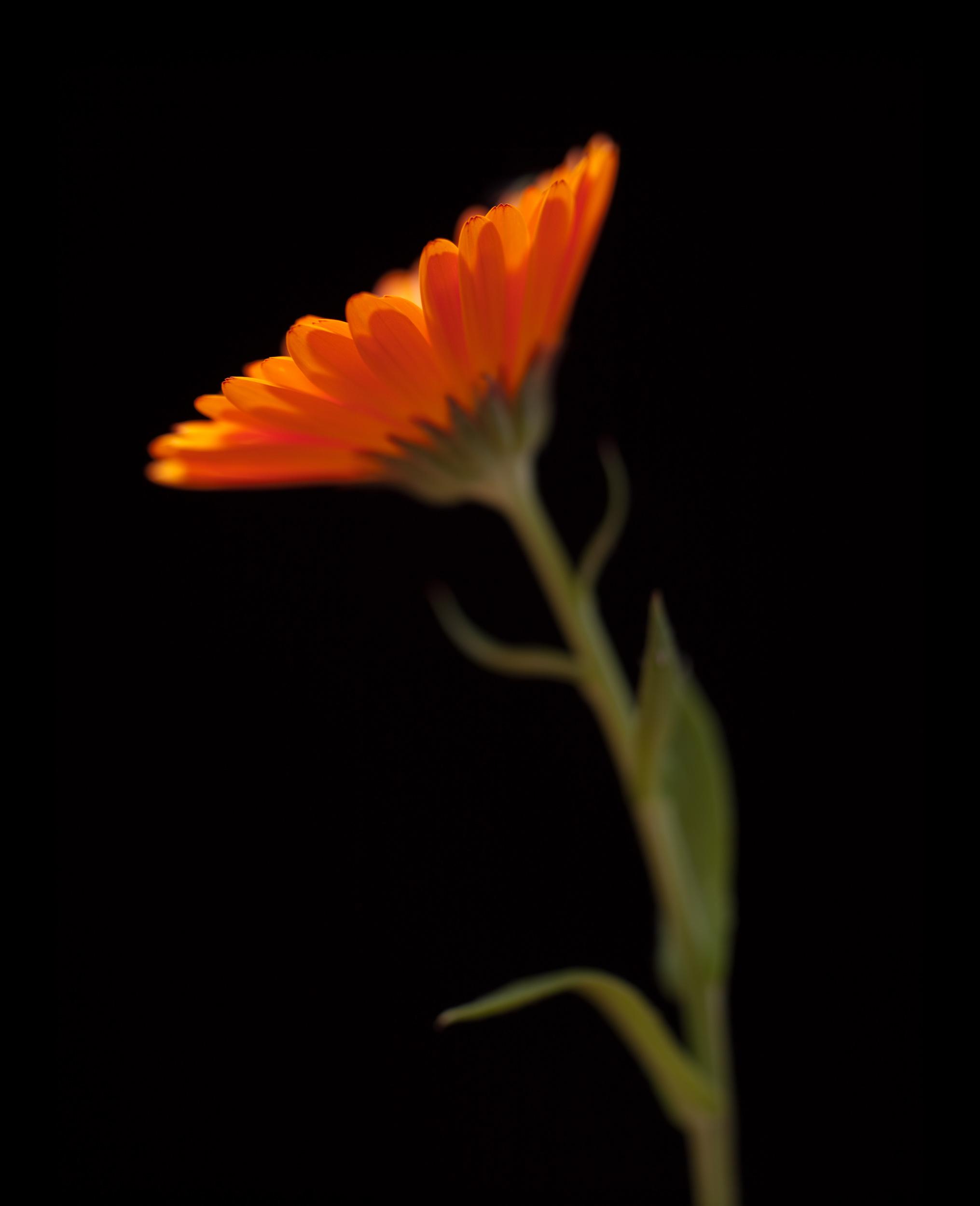 www.iaincrockart.com_flowers-006385.jpg