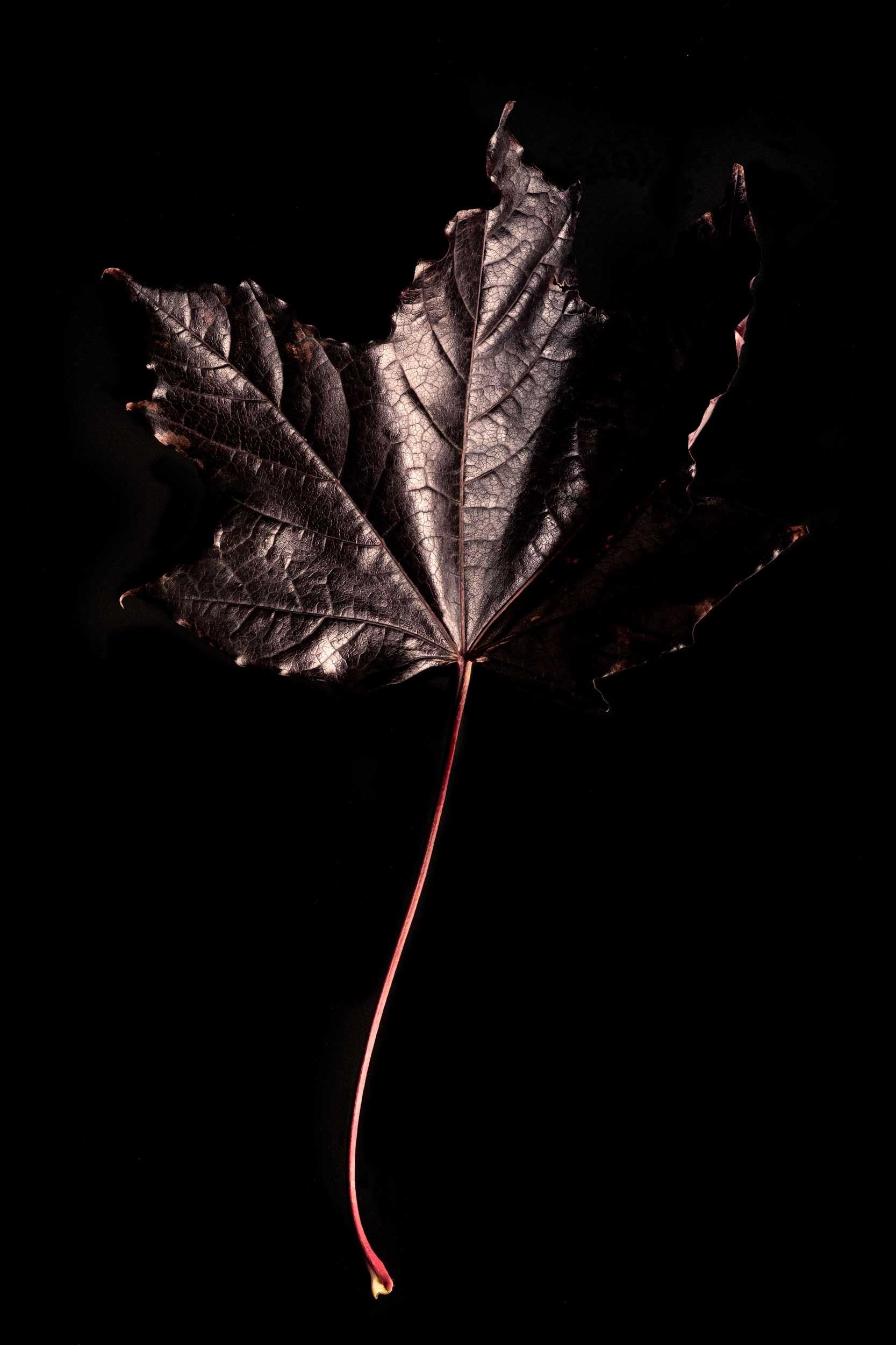 www.iaincrockart.com_black_leaf.jpg