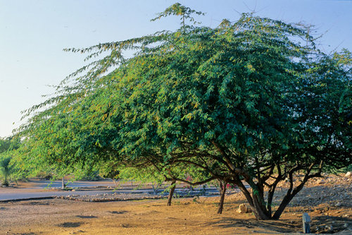 Foreign foe: Prosopis Juliflora
