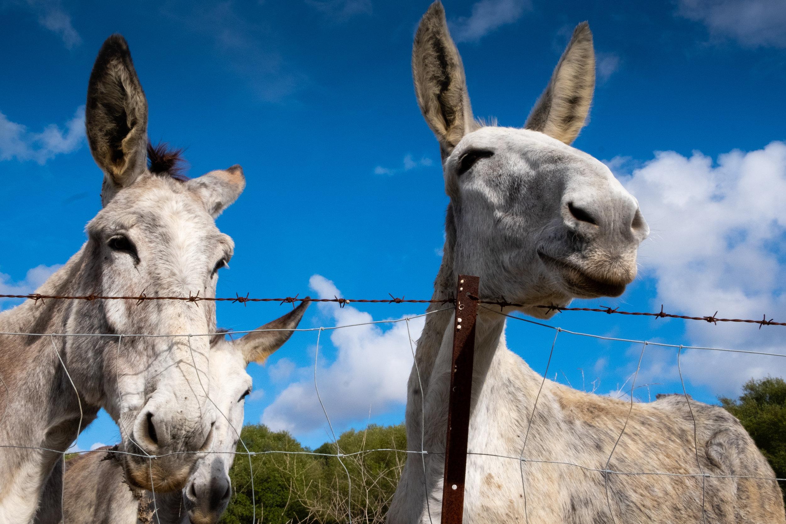Andalucian donkeys near Bolonia, Andalucia.