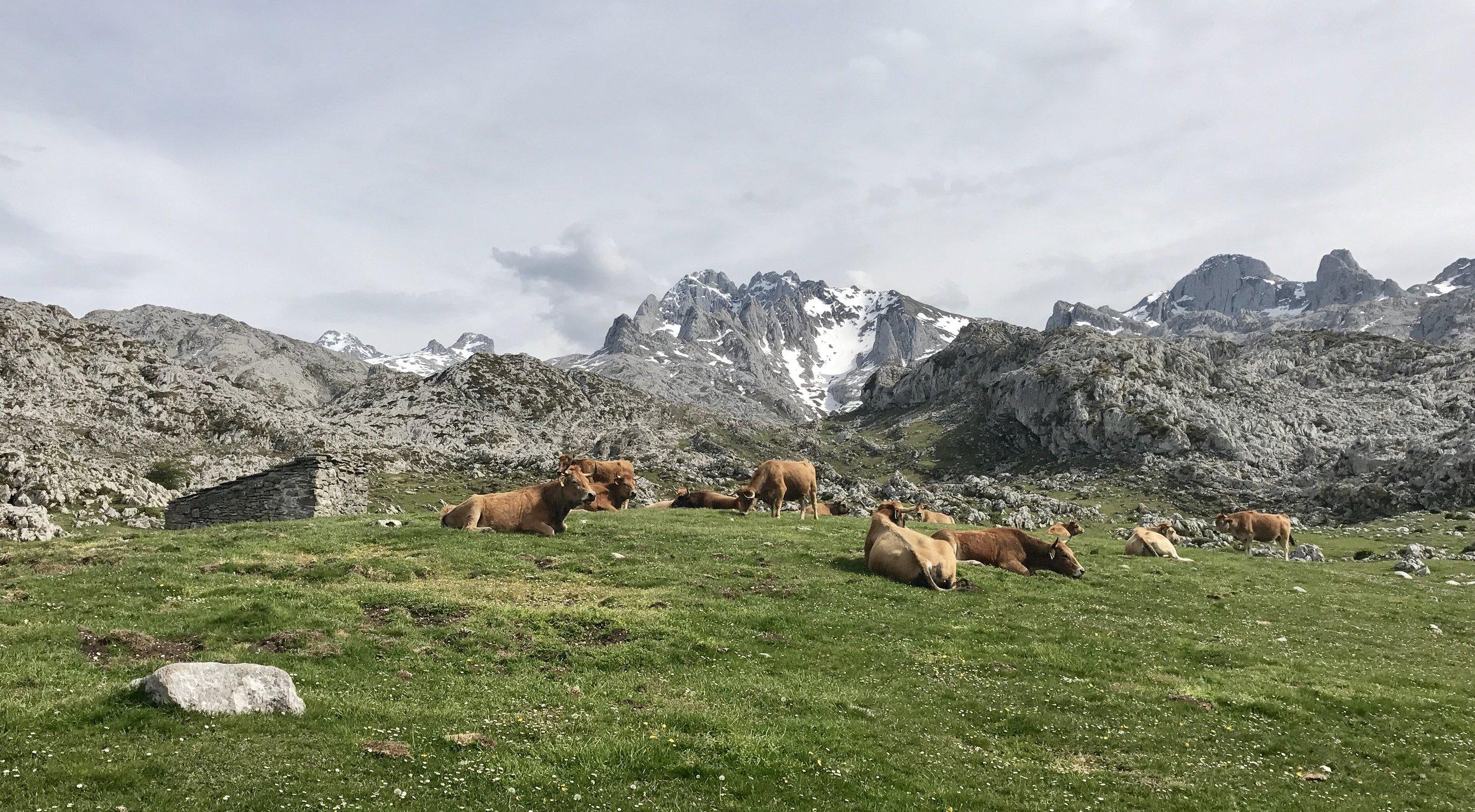 Vacas y Picos.jpg