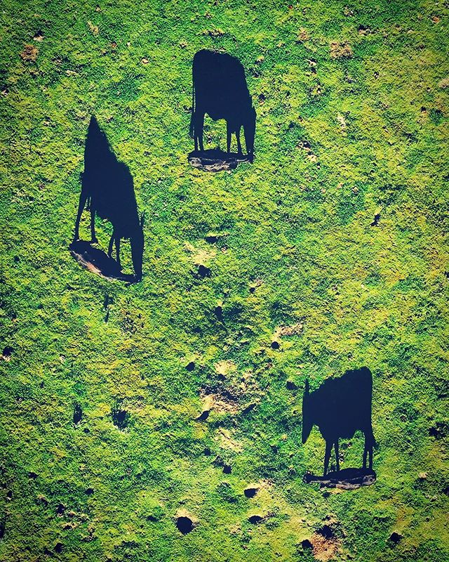 Look closely! The shadows are playing tricks! Due to the late afternoon angle of the sun, the shadows appear much larger than the cows themselves! | #losolivos ⠀⠀⠀⠀⠀⠀⠀⠀⠀ ⠀⠀⠀⠀⠀⠀⠀⠀⠀ ⠀⠀⠀⠀⠀⠀⠀⠀⠀ ⠀⠀⠀⠀⠀⠀⠀⠀⠀ ⠀⠀⠀⠀⠀⠀⠀⠀⠀⠀⠀⠀⠀⠀⠀⠀⠀⠀ ⠀⠀⠀⠀⠀⠀⠀⠀⠀ ⠀⠀⠀⠀⠀⠀⠀⠀⠀ ⠀⠀⠀⠀⠀⠀⠀⠀⠀ ⠀⠀⠀⠀⠀⠀⠀⠀⠀ ⠀⠀⠀⠀⠀⠀⠀⠀⠀ #artofvisuals #shadowplay #droneporn #cow #shadowhunters #creativephotography #centralcalifornia #shotondji #shadows #cows #droneoftheday #natgeohub #natgeoyourshot #createcommune #dronesaregood #hsdailyfeature #dronesdaily #amazing_shots #dji_official #awakethesoul #cowsofinstagram #fromwhereidrone #dronegear #nakedplanet #djimavic #dji_photos #djicreator #abc7eyewitness #djiglobal ⠀⠀⠀⠀⠀⠀⠀⠀⠀