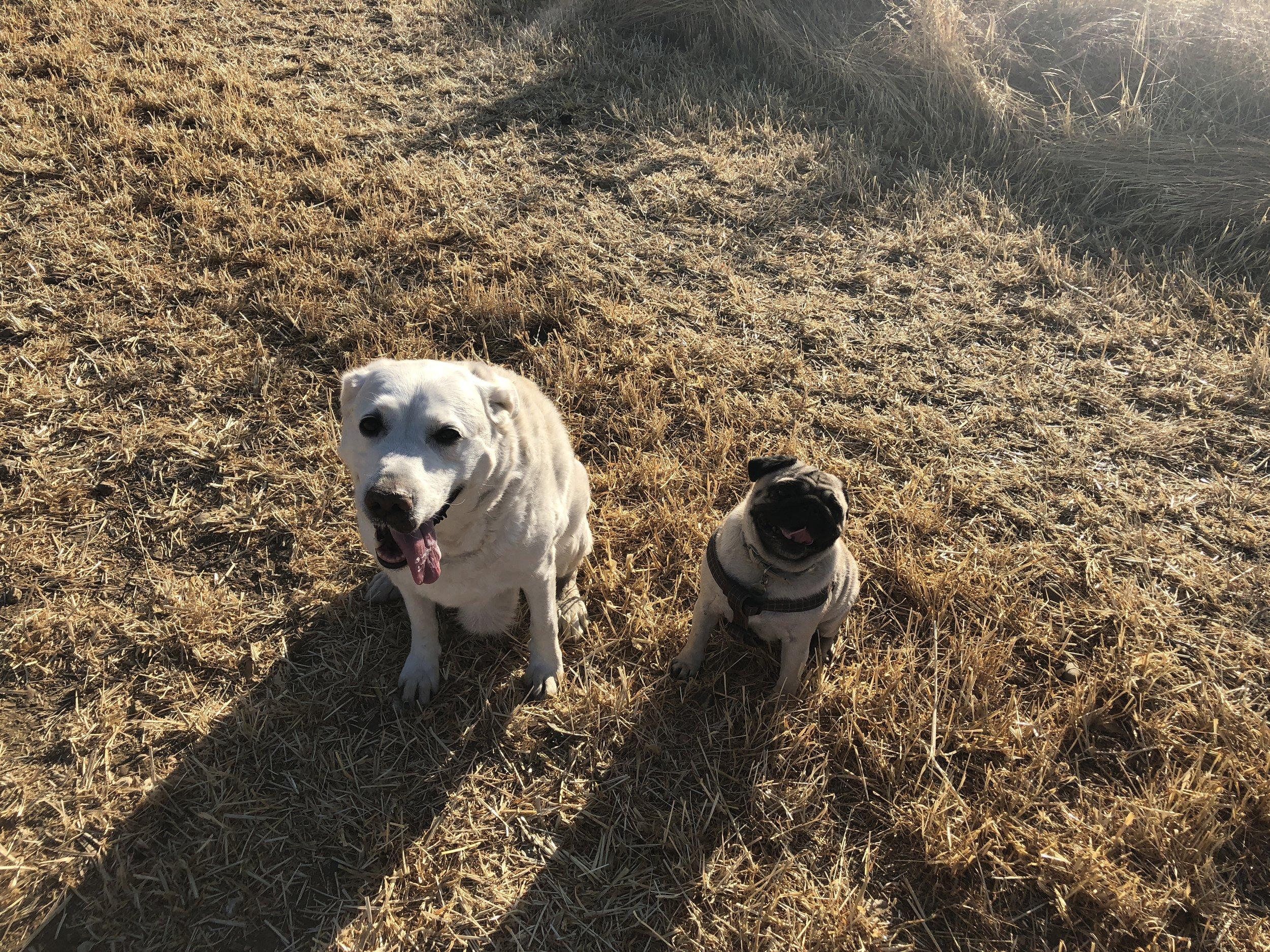 My beautiful dogs Shayla (Labrador) Little Mya (pug)