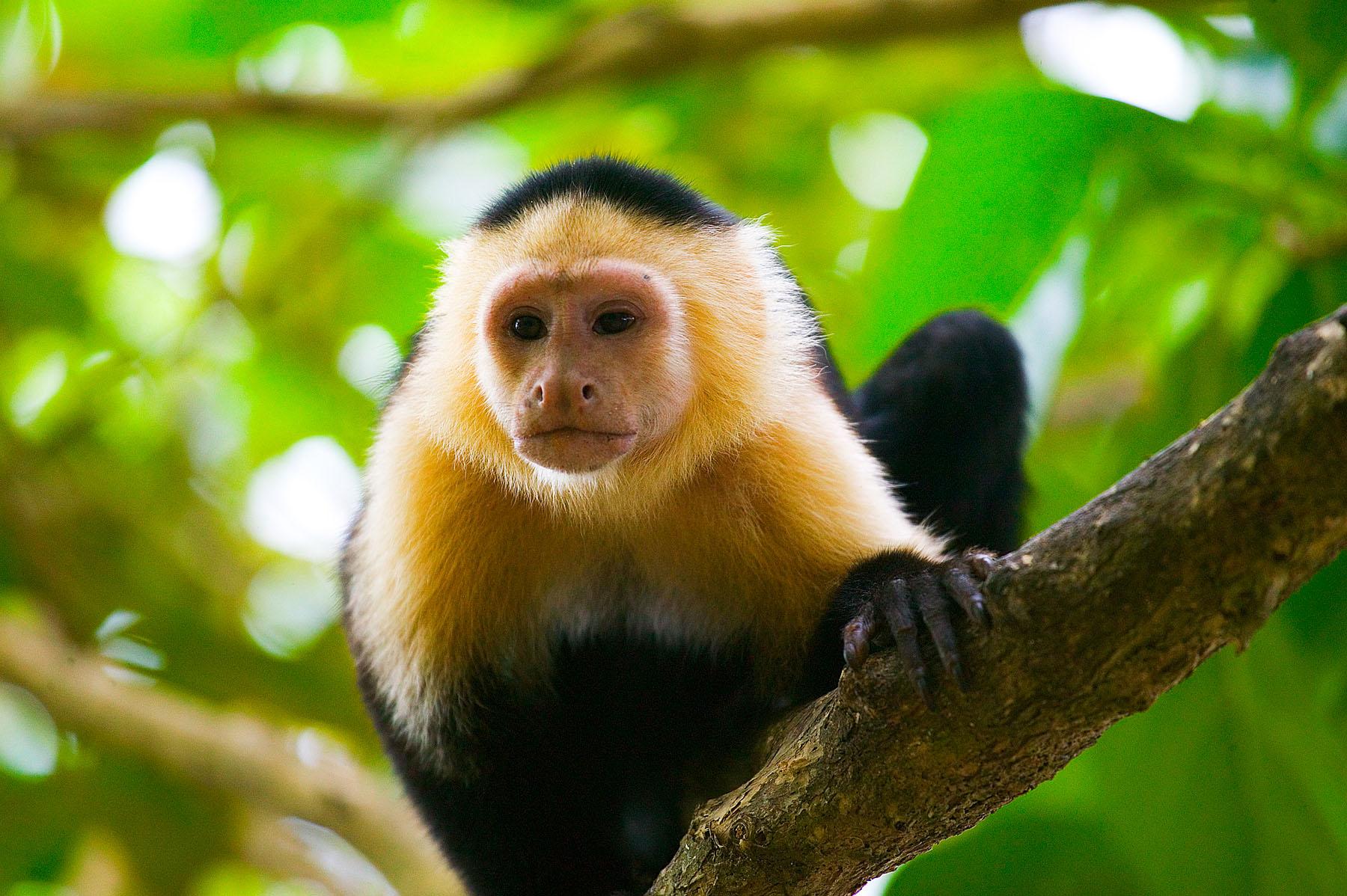 White Faced Capuchin, Costa Rica