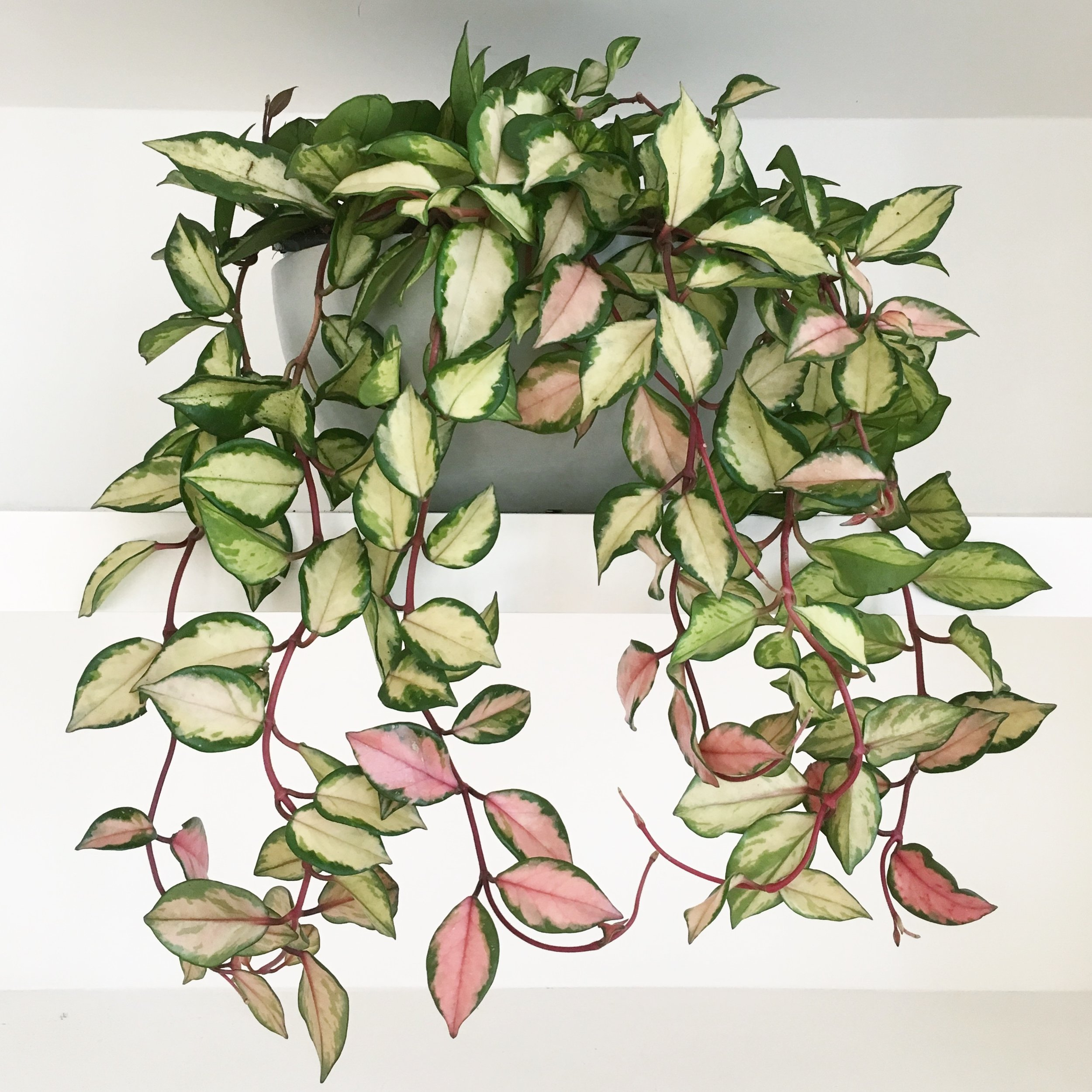 Pilea Plant Shop Hoya Carnosa Tricolour Installation.JPG