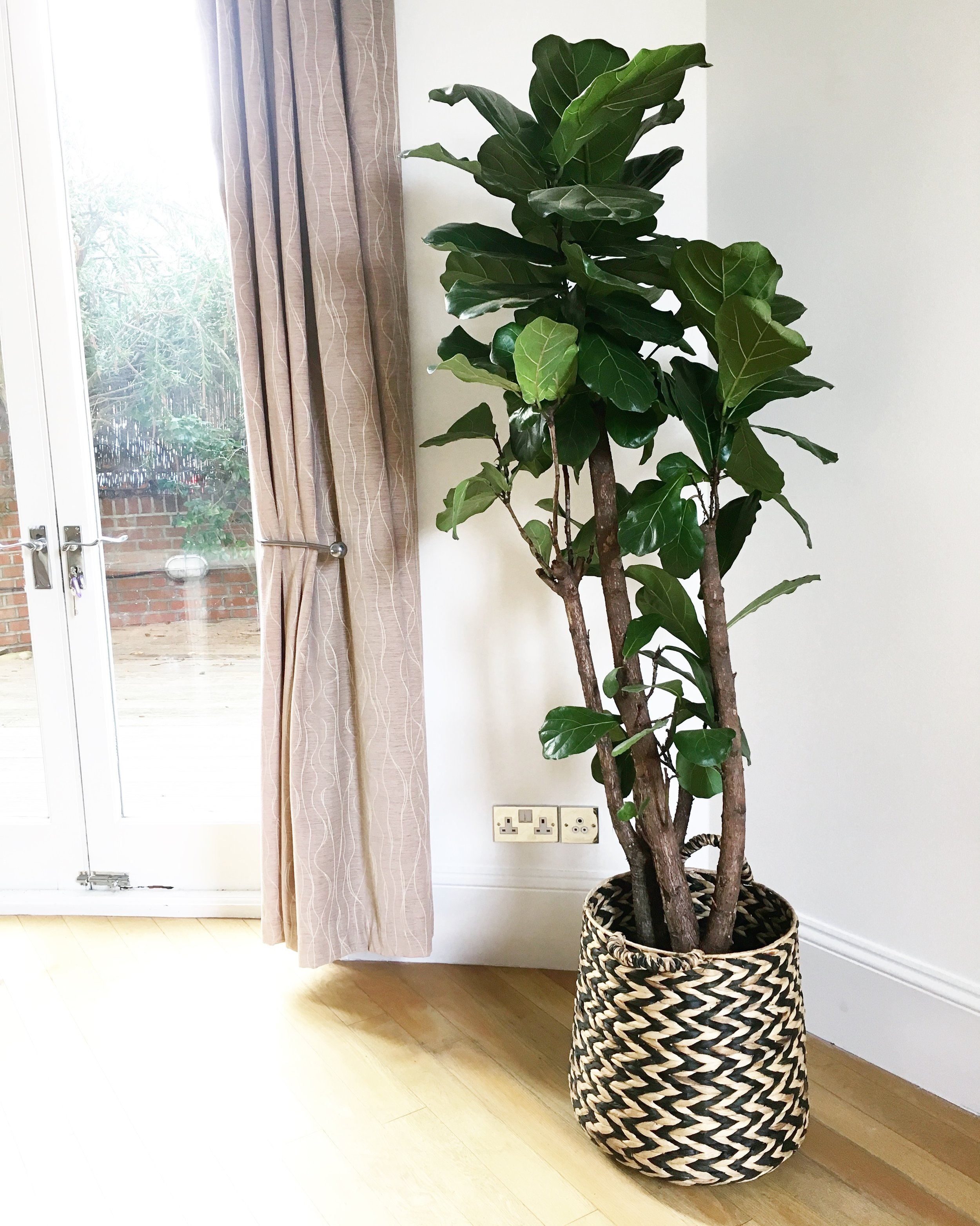 Pilea Plant Shop Ficus lyrata Installation.JPG