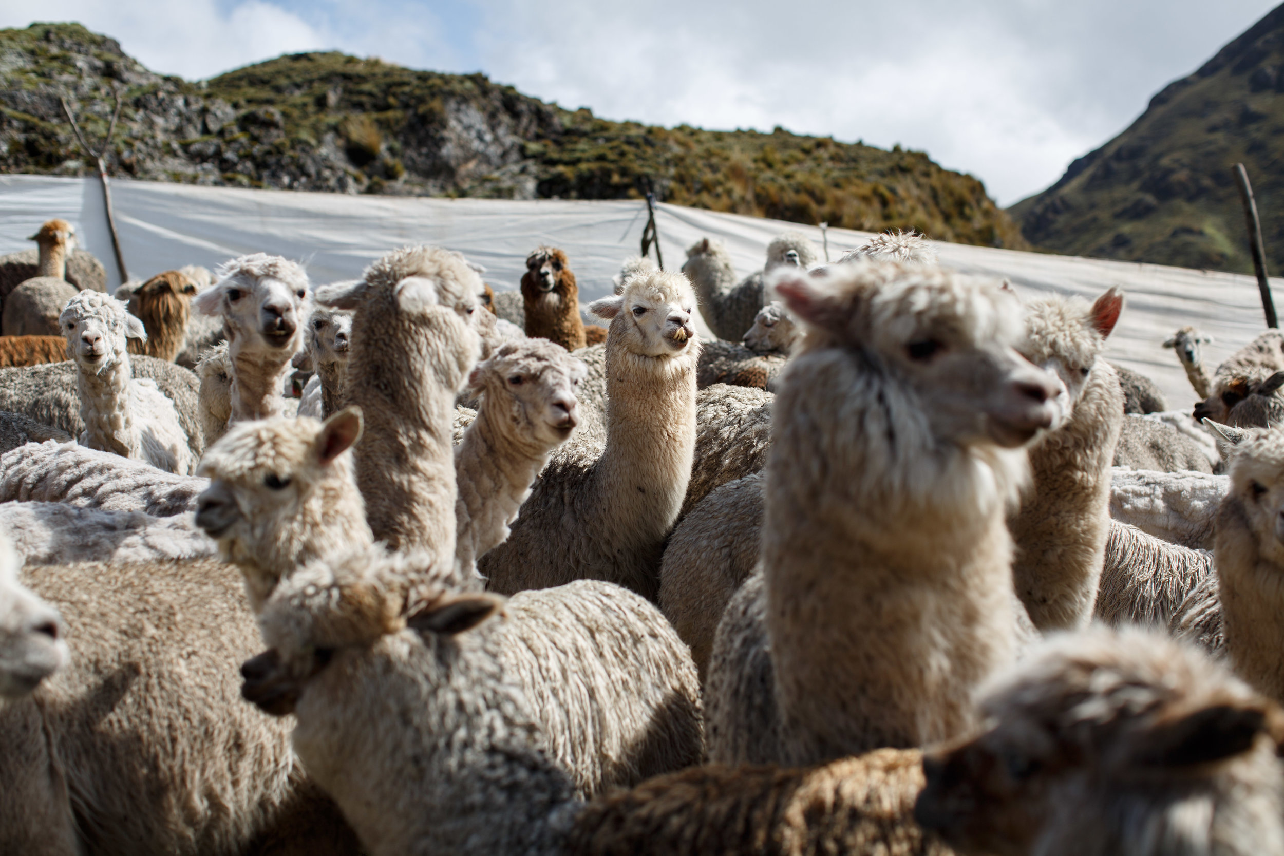 Alpacas after being roped into a small enclosure so that they can be more easily caught for shearing.