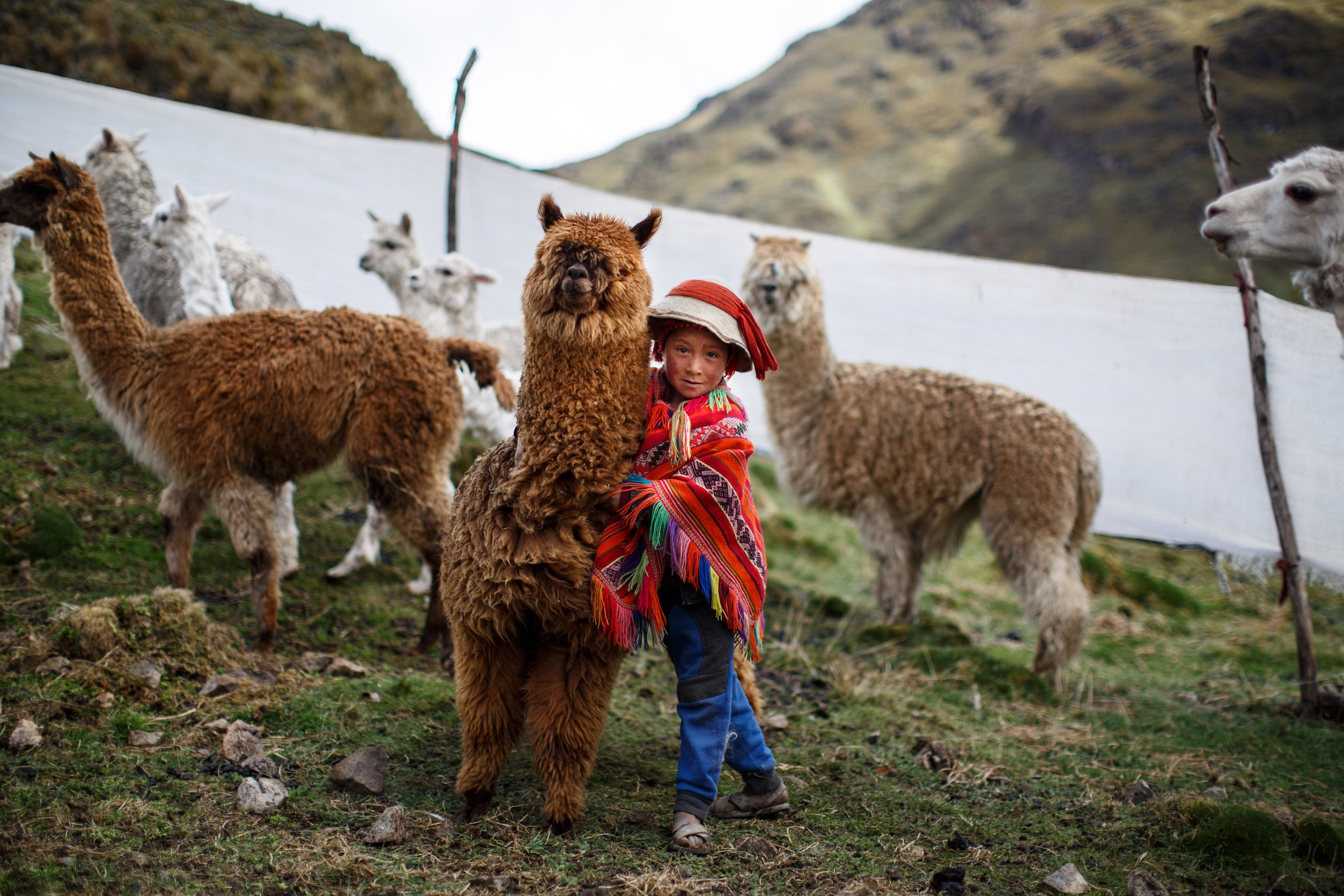 A boy and his favorite fluffy alpaca at the shearing.