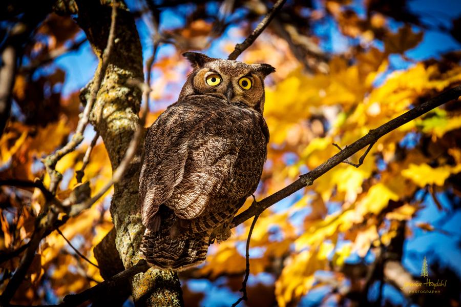 owl_stevensville_2016_2web.jpg