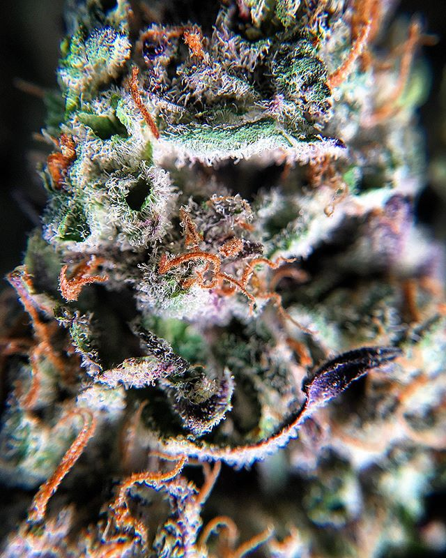 Clema Cookies🍪🍪 #straightgas #latedrop #openuntil10 #nightcap #thedevilsinthedetails #middleweek #strainspecific #denverdispensary #wolfpaccannabis