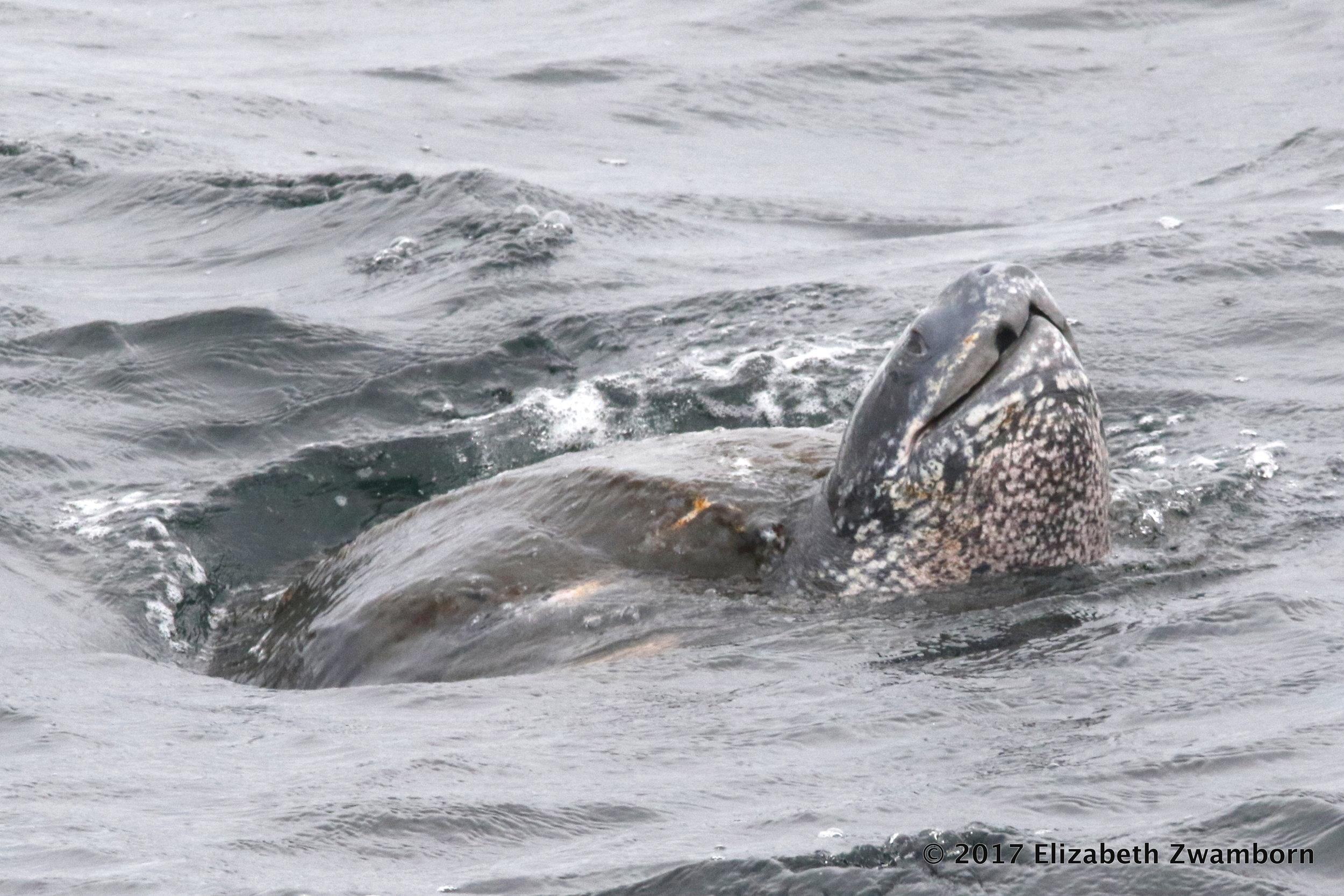 rare leatherback turtle.JPG