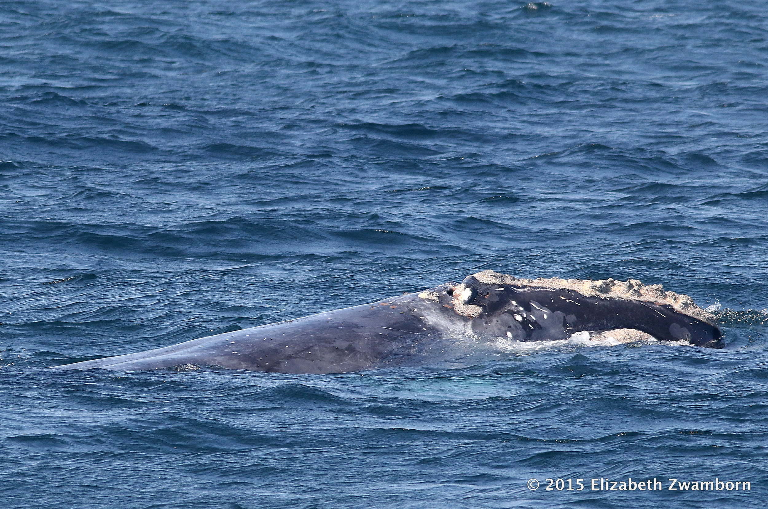 rare right whale.JPG