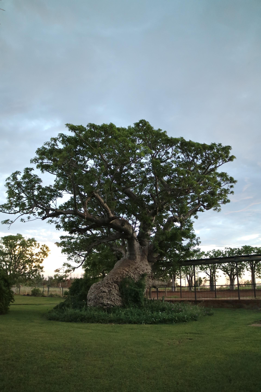 Boab Tree Kimberley Governess
