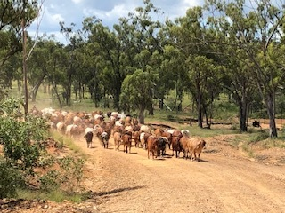 cattle mob outback govie governess jobs.jpg