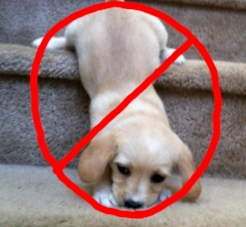 Research suggests that puppies walking on stairs from birth to 3 months of age have an increased risk of developing Hip Dysplasia.(1) -