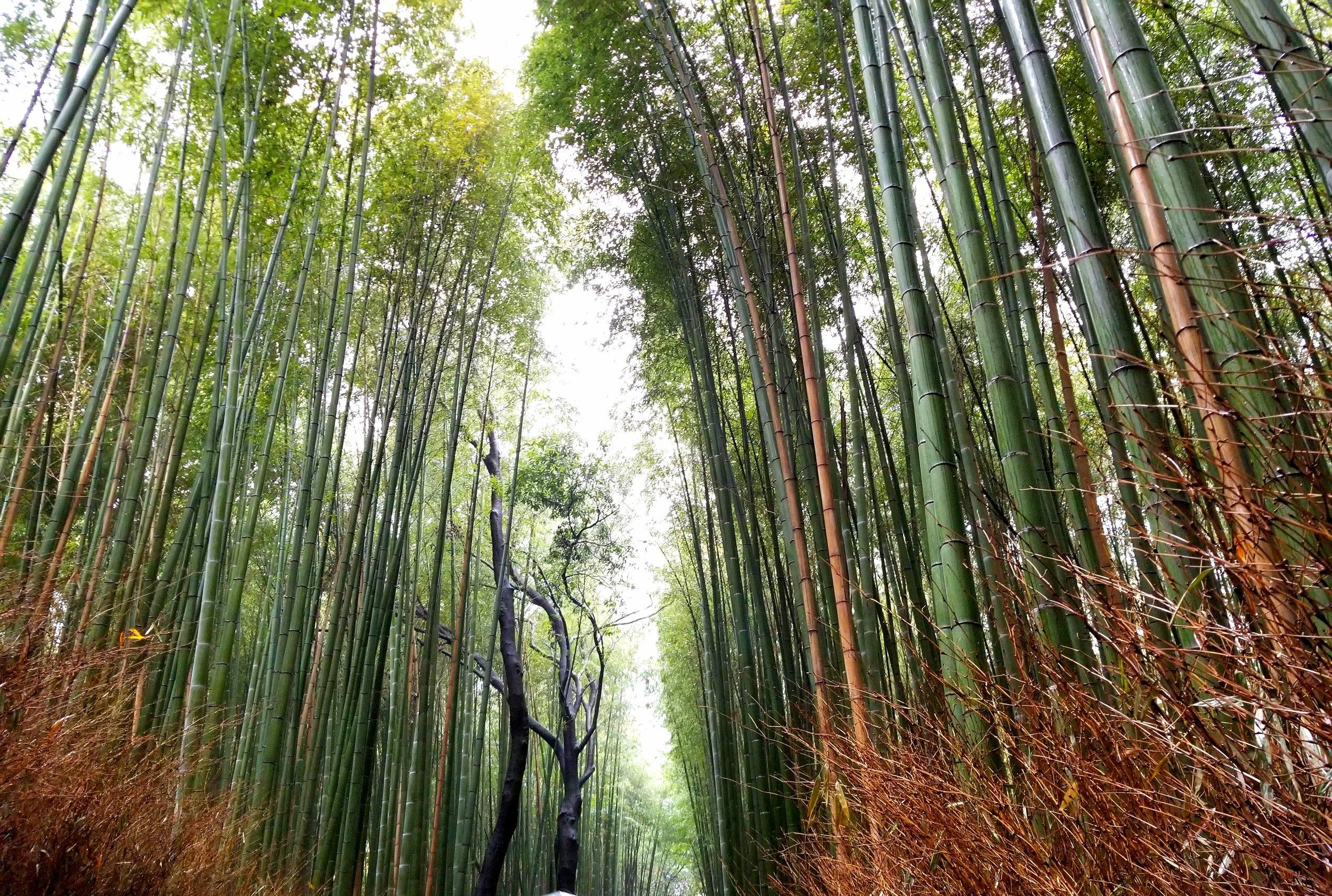 uprooted-traveler-Arashiyama-bamboo-forest-vegan-guide-to-kyoto.jpg