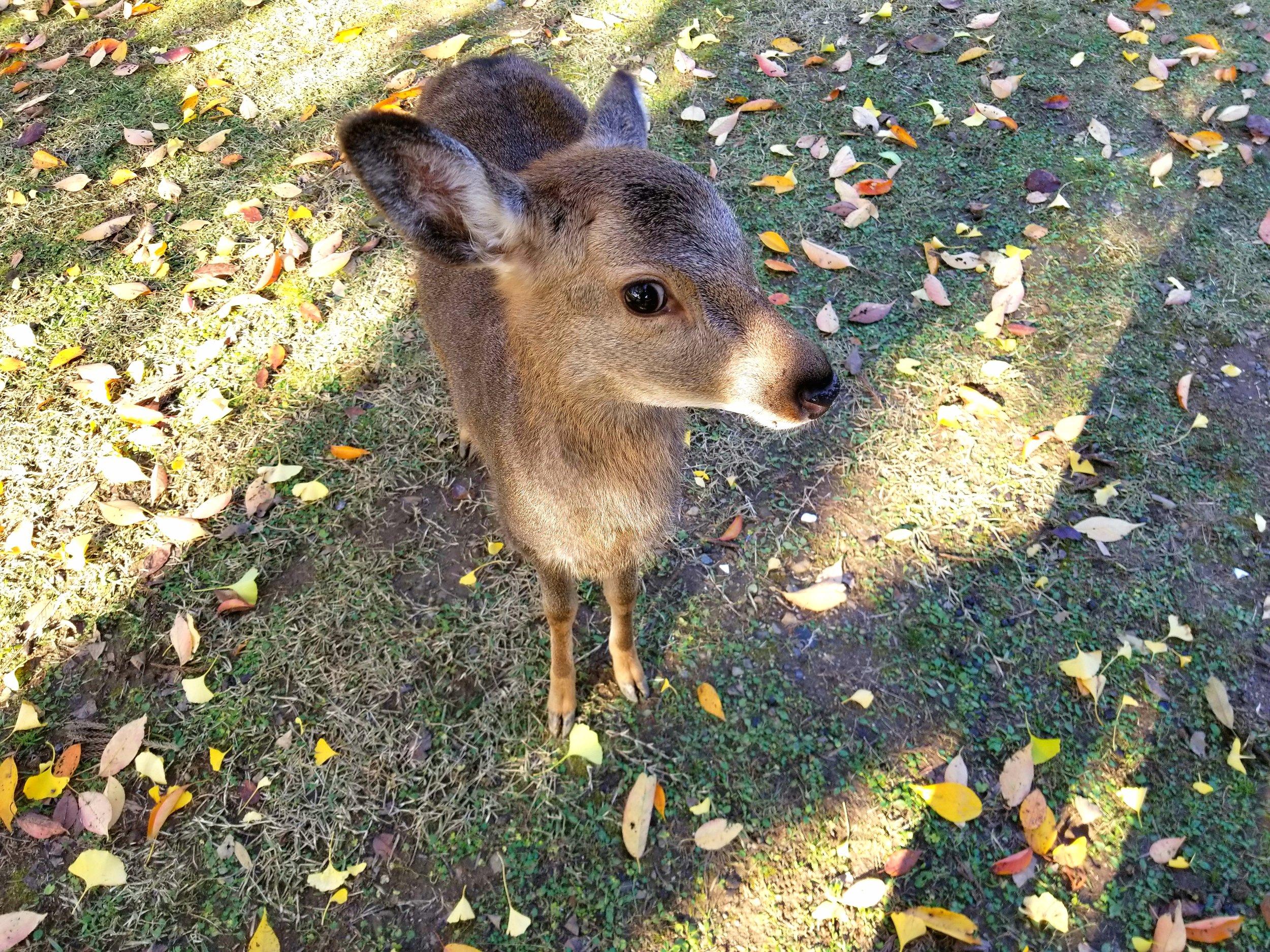 uprooted-traveler-nara-park-vegan-guide-kyoto-deer
