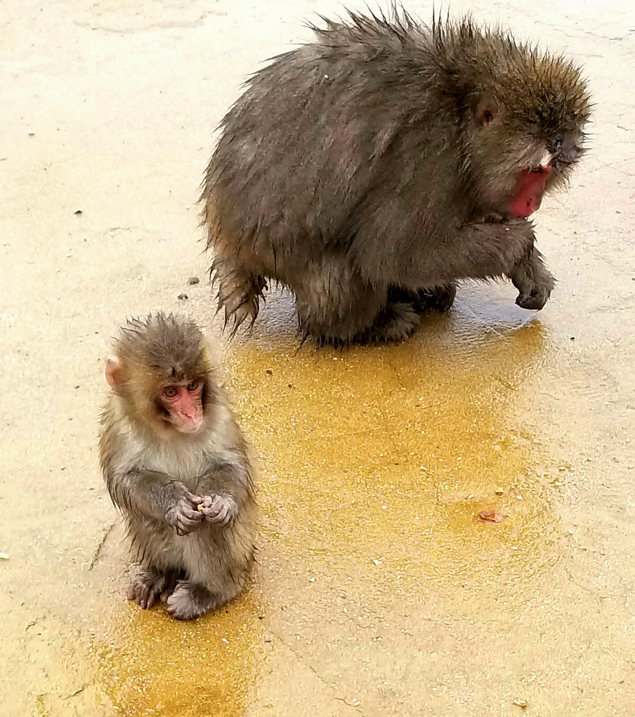 uprooted-traveler-vegan-guide-kyoto-Iwatayama-Monkey-Park
