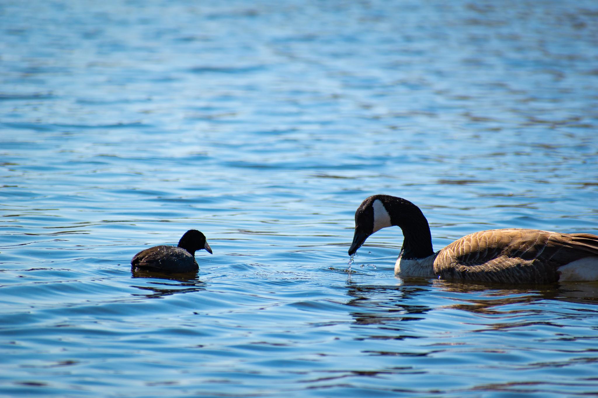 uprooted-traveler-lake-calhoun-ducks.jpg