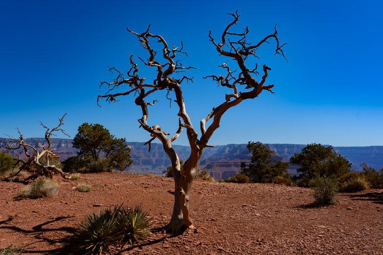 uprooted-traveler-grand-canyon-south-keibab-trail-tree (1).jpg