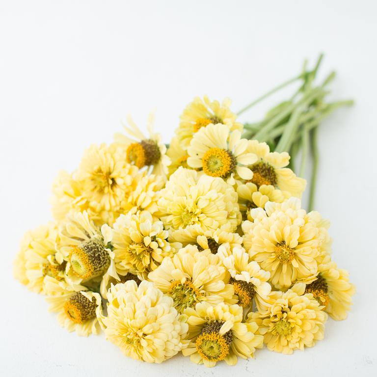 Isabellina Creamy Yellow