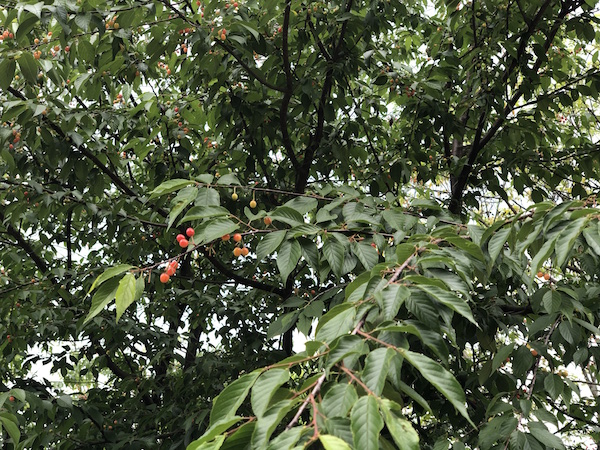 Wild cherries on the mountainside road... we pulled over to pick, and snack on, at our Tea Master, Rao's encouragement!