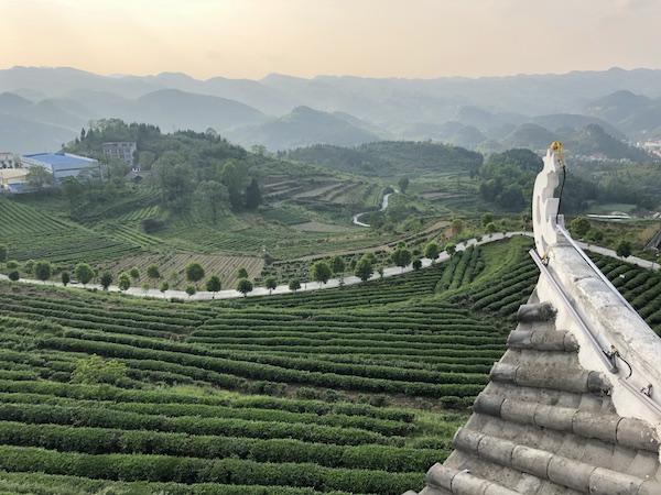 Rao's beautiful organic tea garden, in Guizhou...