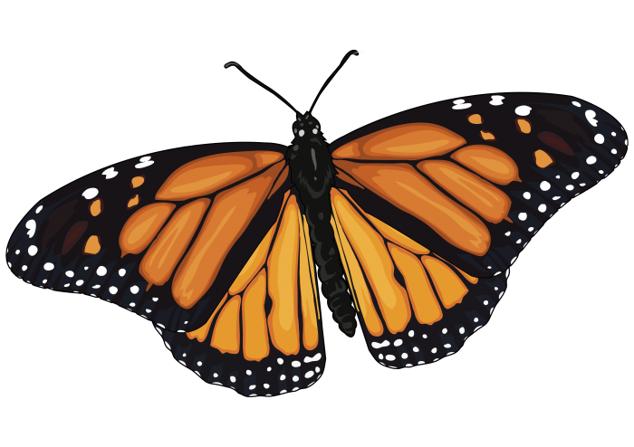 Monarch Butterfly -