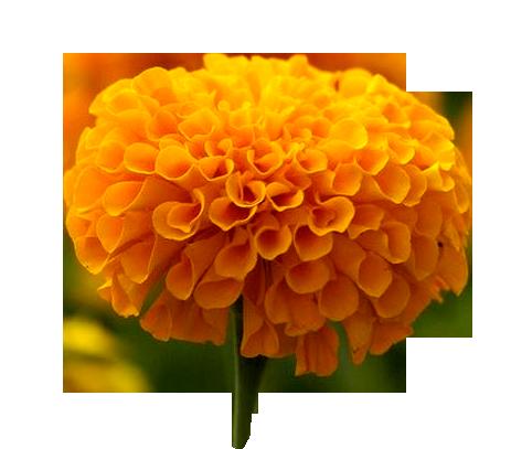 Cempasúchil - Its also called the flor de muertos(