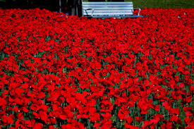 The first red poppies to come to Australia, in 1921, were made in France. -