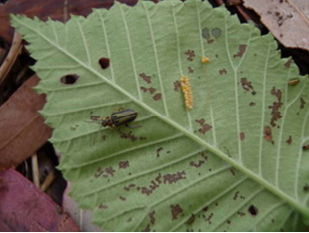 Elm-leaf-beetle2.jpg