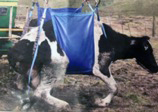 Cow in a sling.jpg