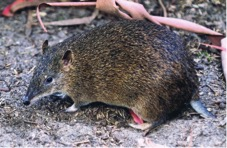 Southern Brown Bandicoot (photo Tom Hands).
