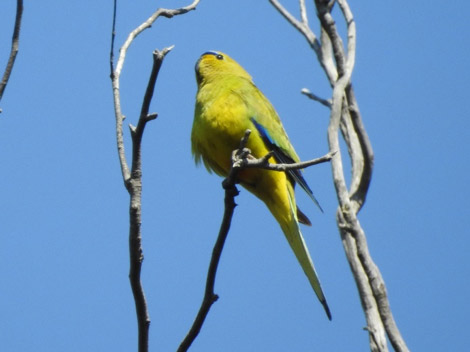 Elegant Parrot, a fairly rare visitor to the Park.