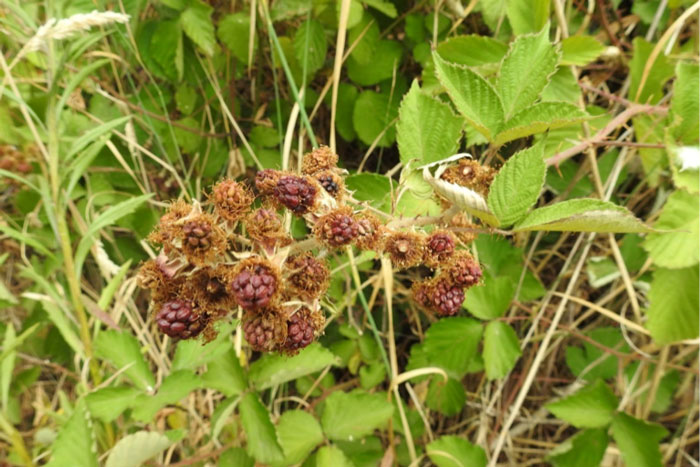 In the park this summer a lot of Blackberry fruit has shrivelled before it had a chance to mature.