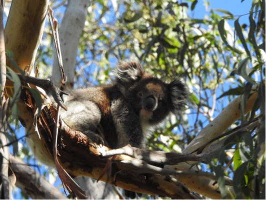 One of our resident koalas in the Park.
