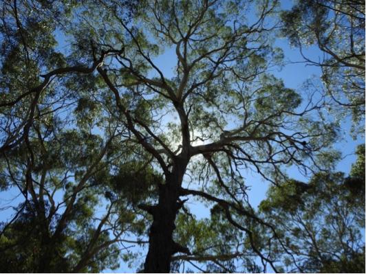 Manna Gum ( Eucalyptus viminalis ) in Scott Creek.