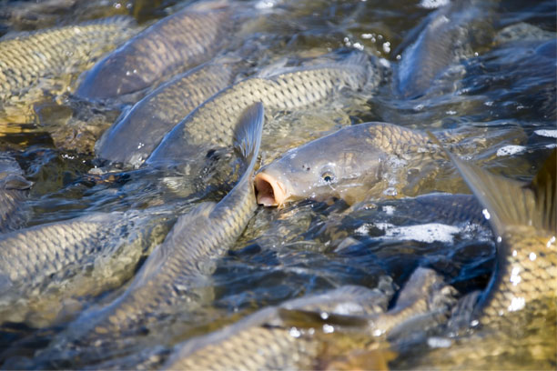 The CSIRO have been testing in quarantine a new virus to control invasive carp.
