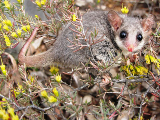 Feral foxes and cats are known predators of the eastern pygmy possum, which is threatened with extinction.