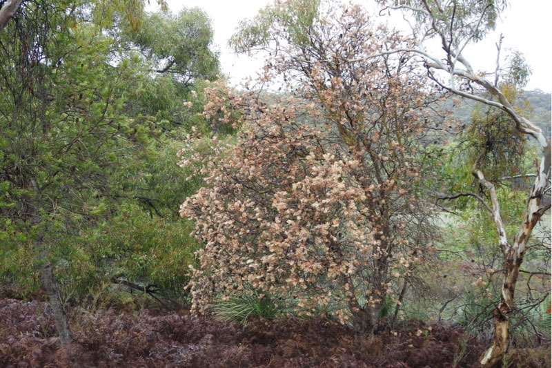 Local Silver Banksia is one species that suffered more than most from the summer drought.