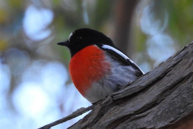 A male Scarlet Robin spotted at gate 3 on Scott Creek Road in June.