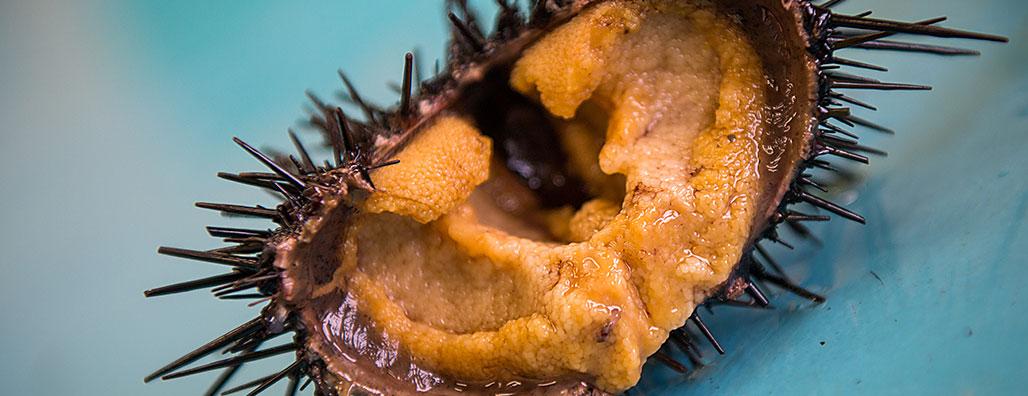 A urchin full of roe. Photo: Noriko Hayashi