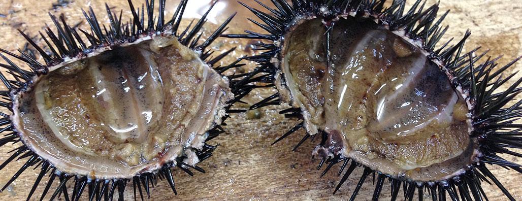 An empty sea urchin. Photo: Noriko Hayashi