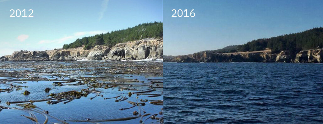 A bull kelp forest as seen from the surface of Ocean Cove in northern California in 2012 and 2016. (Kevin Joe and Cynthia Catton, California Department of Fish and Wildlife).