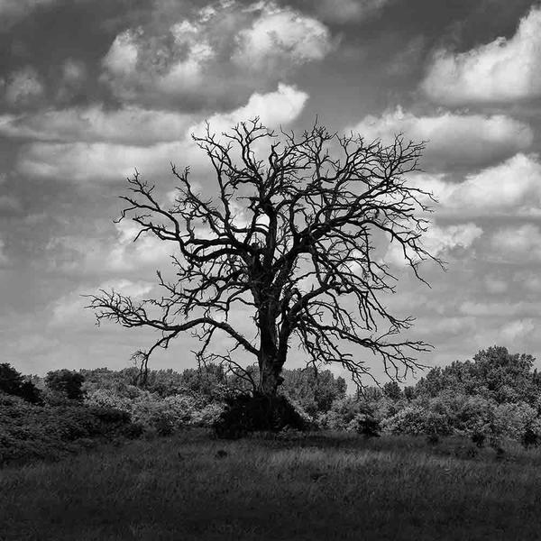 P6206639-Dead-Cottonwood-Tree-in-a-Cloud-Shadow-square_grande.jpg