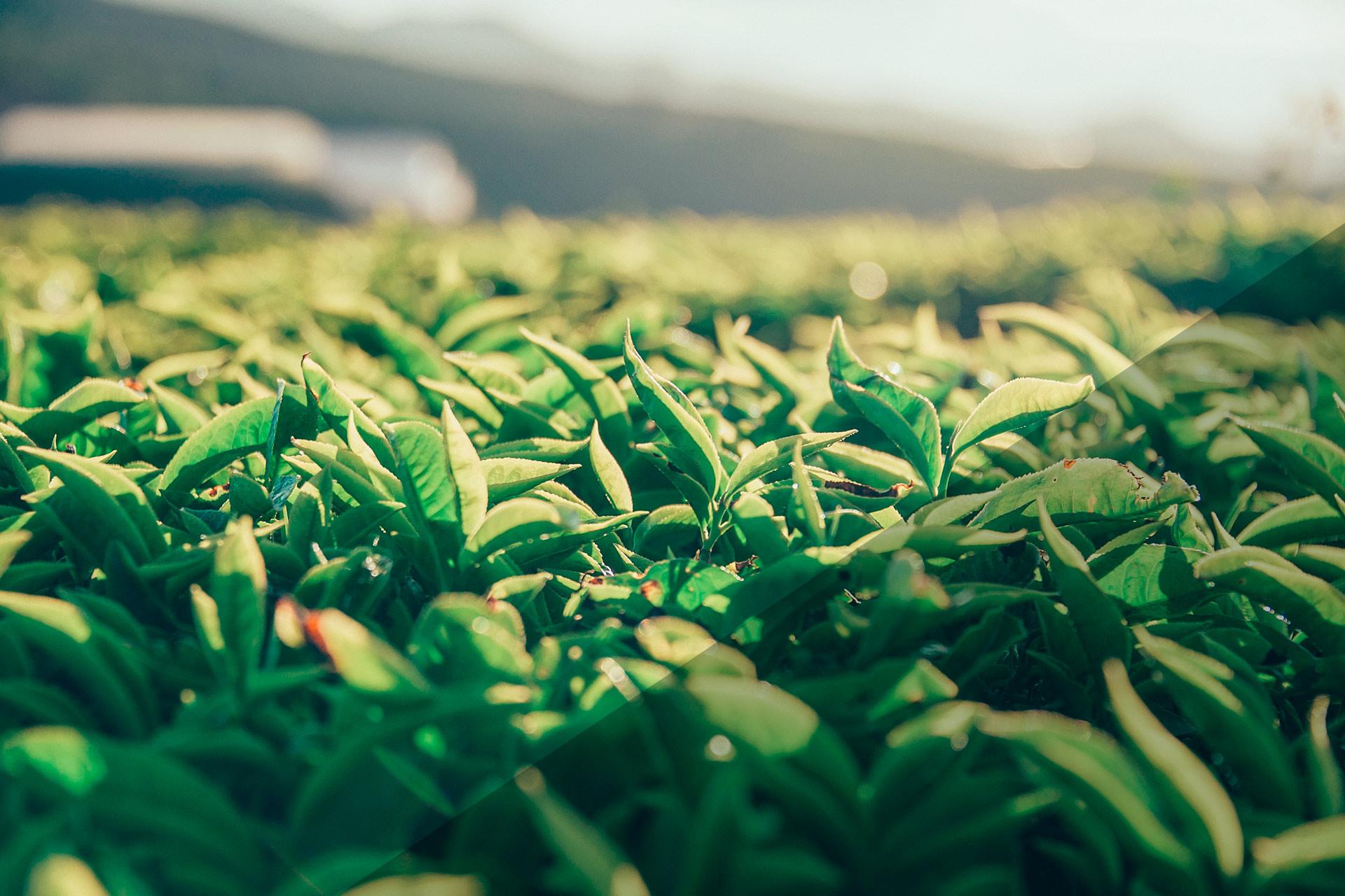 tea_field_nah.jpg
