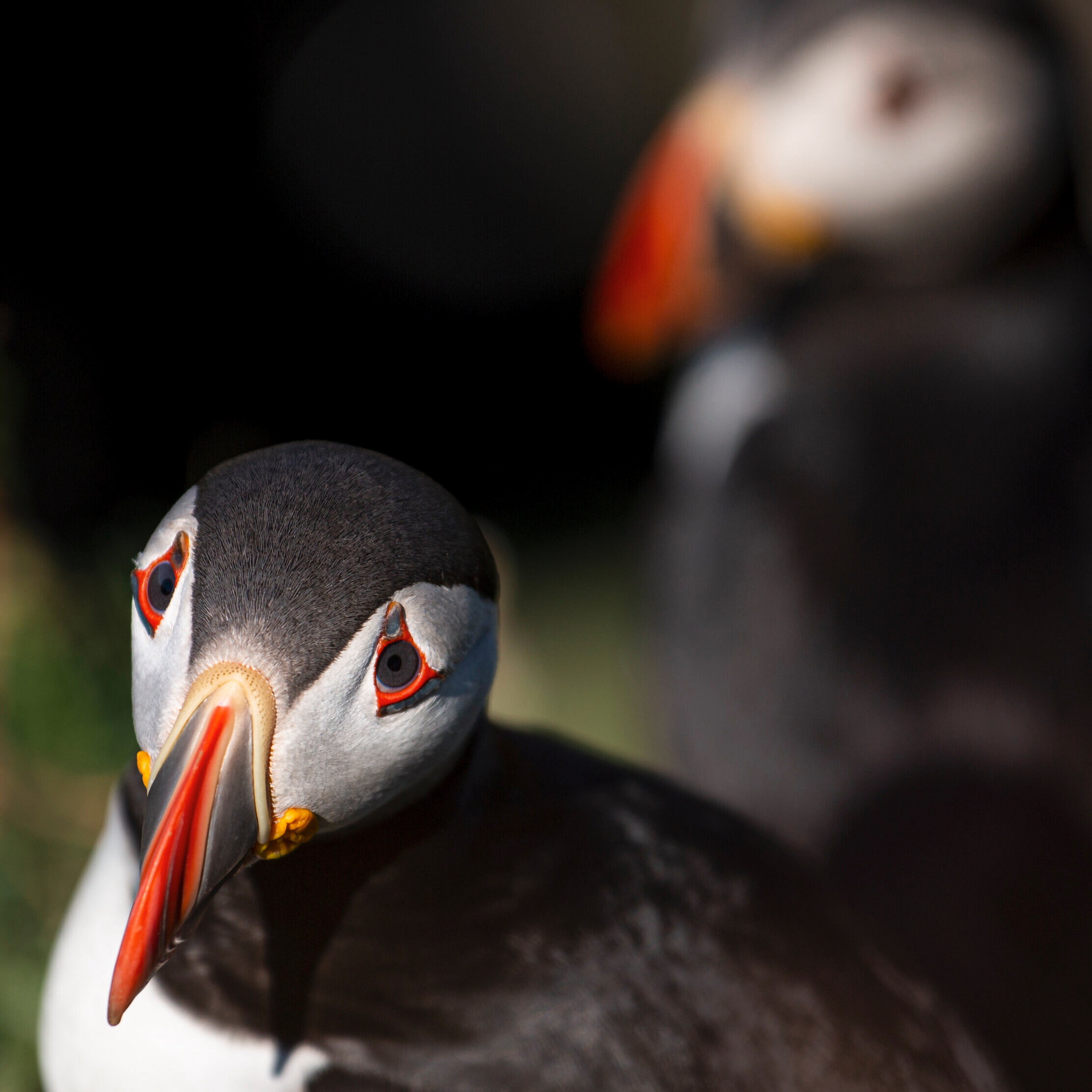 Isle of Coll Puffins